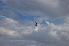 A big bird (hawk?)